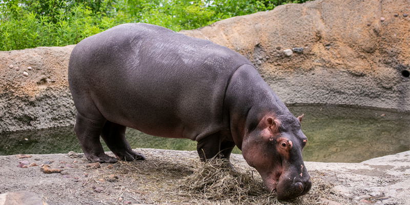 Cairo the Hippo