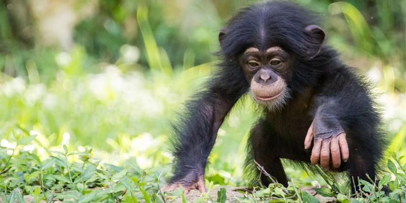 Kansas City Zoo - Baby Chimp