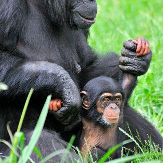 Chimps at the Kansas City Zoo