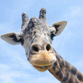 KC Zoo Giraffe