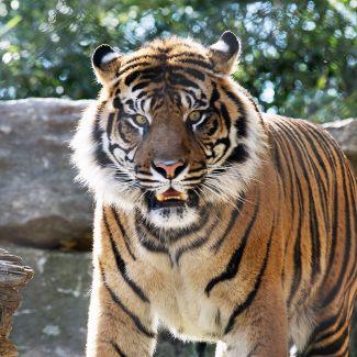 Tiger at the KC Zoo