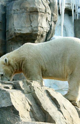 Polar Bear Passage at the KC Zoo