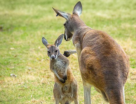 Kangaroos at the Kansas City Zoo